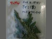 Cirsium_brevicaule_seed12.07.16-02