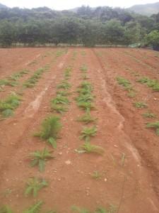 徳之島町農林水産課委託農家植え付け向春草